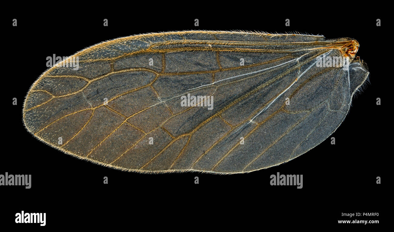 Alderfly Megaloptera sialis lutaria, darkfield photomicrograph of the front and rear wing types - Stock Image