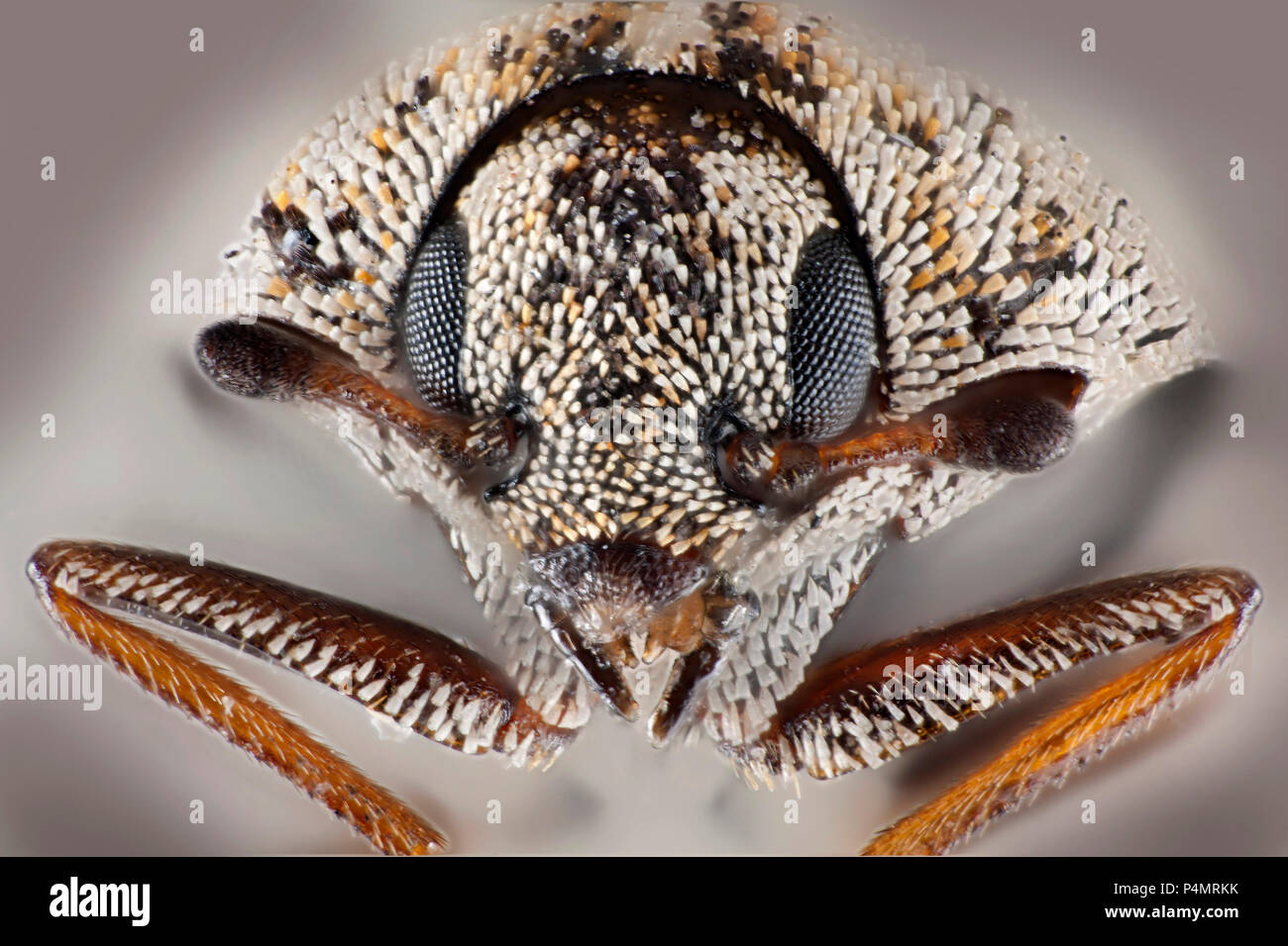 Varied carpet beetle (Anthrenus verbasci) macro portrait - Stock Image