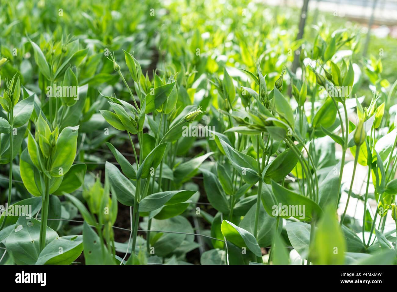 greenhouse full of lisianthus grandiflorum plants - Stock Image