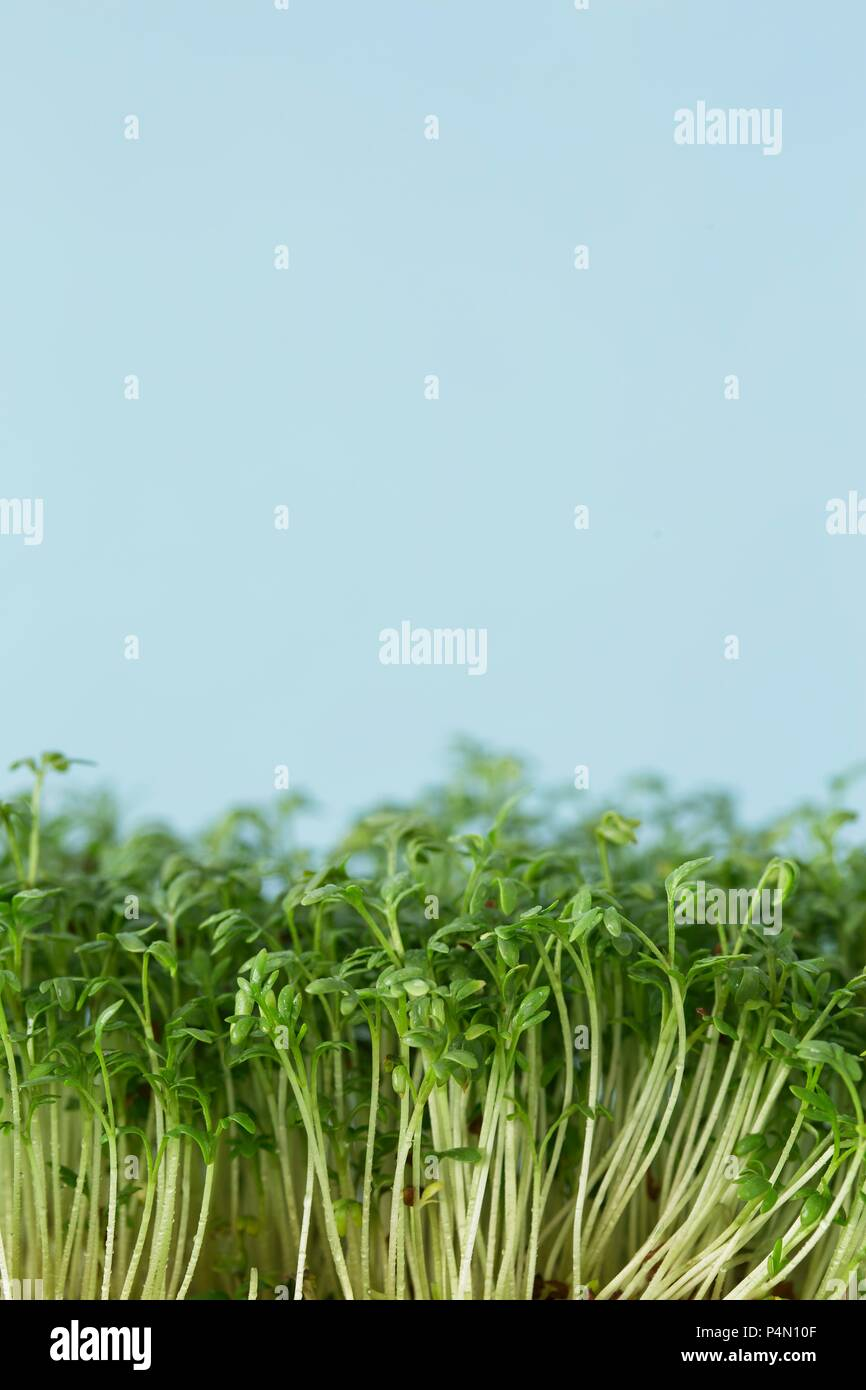 Fresh cress (close-up) - Stock Image