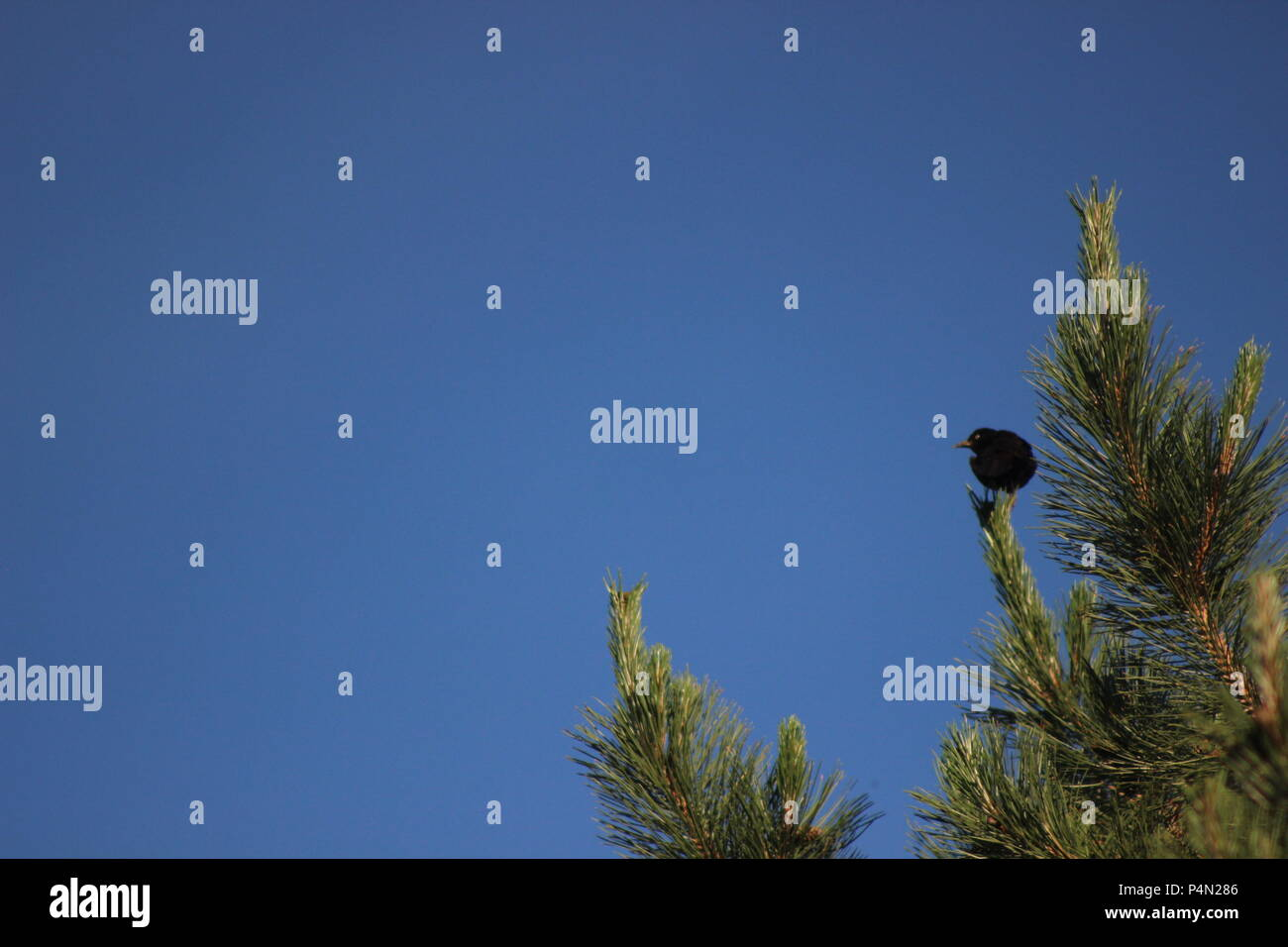 A small black bird perches up on the tops of a pine tree against a vibrant blue sky - Stock Image