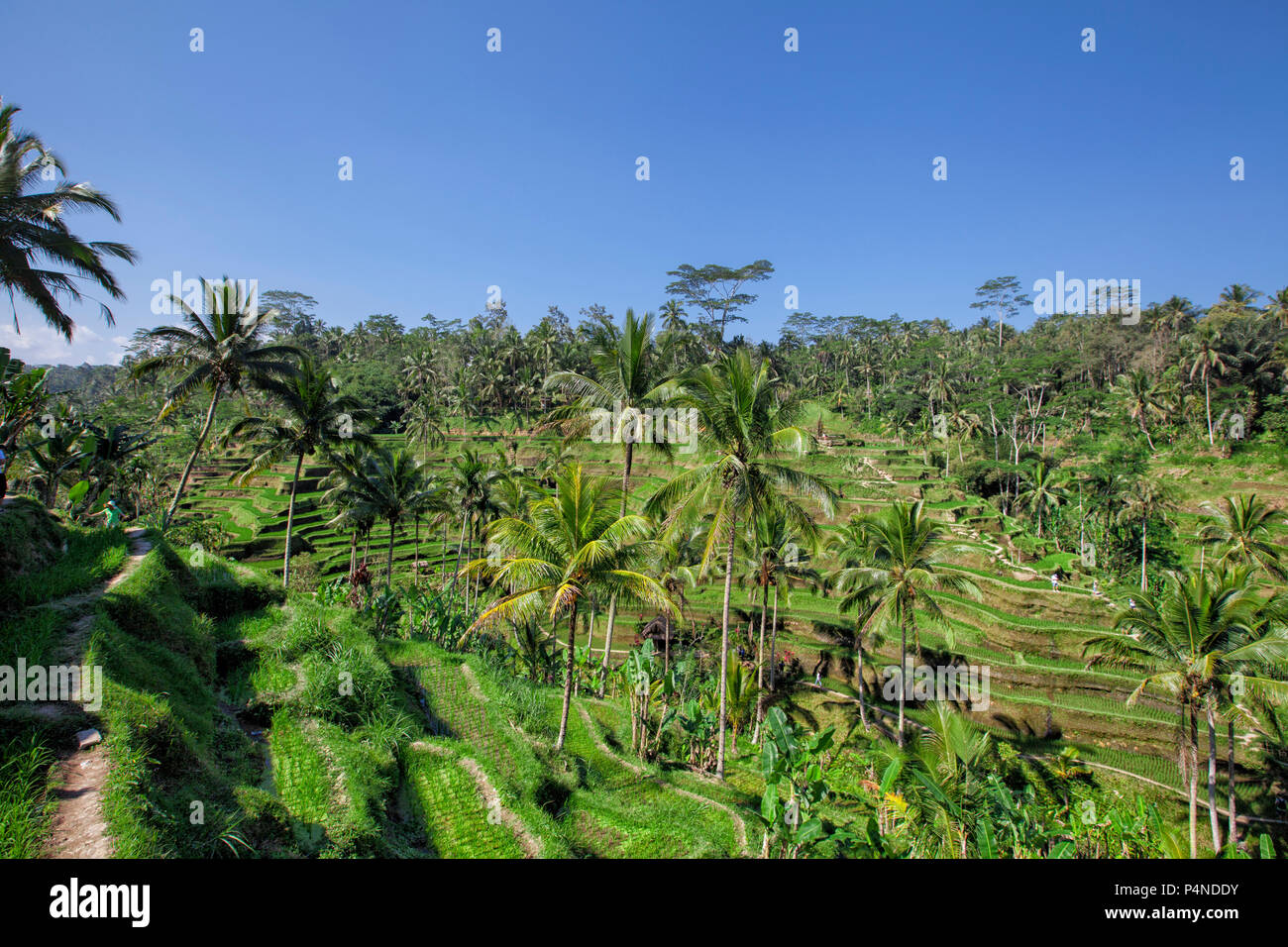 Tegallalang Rice Terraces in Ubud is famous for its beautiful scenes of rice paddies involving the subak (traditional Balinese cooperative irrigation  - Stock Image