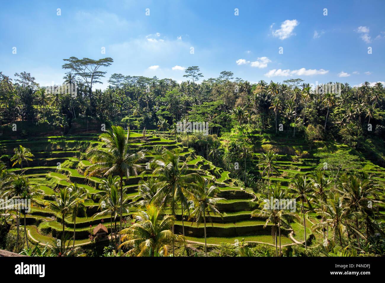 Tegallalang rice Terraces; Ubud; Bali; Indonesia - Stock Image