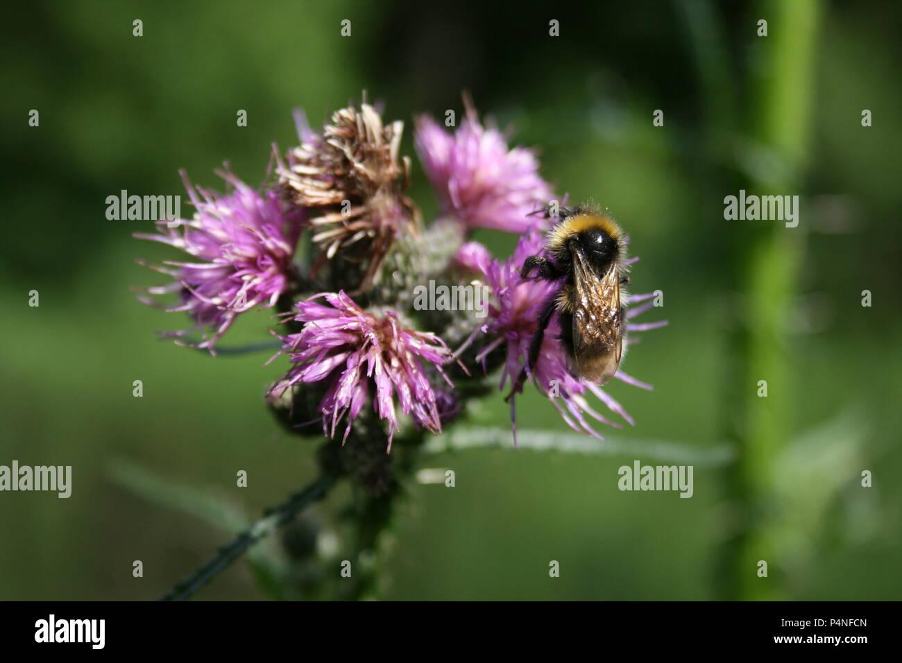 Hummel auf Distel - Stock Image