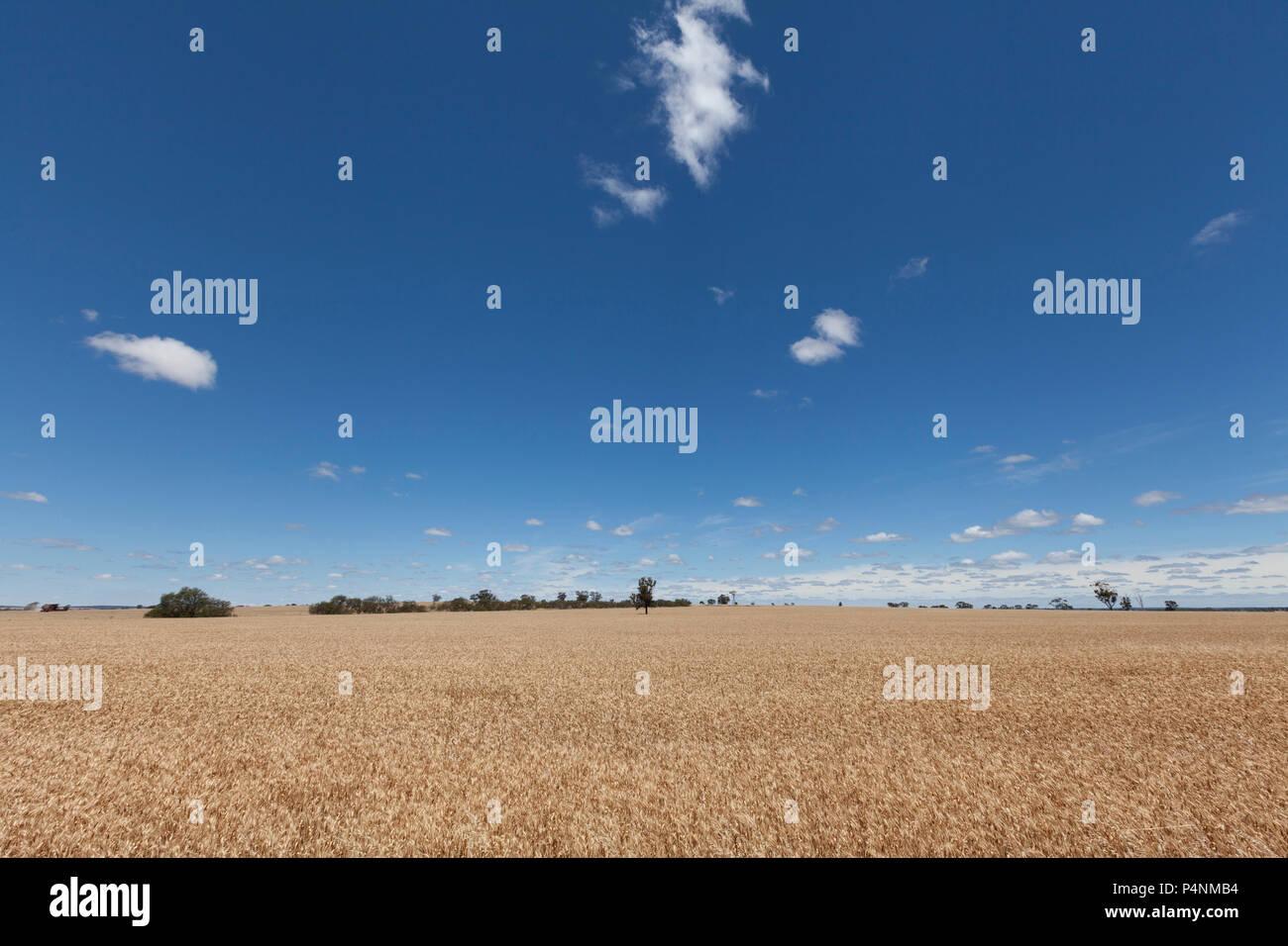 Wheat field on a sunny day near, Australia Stock Photo