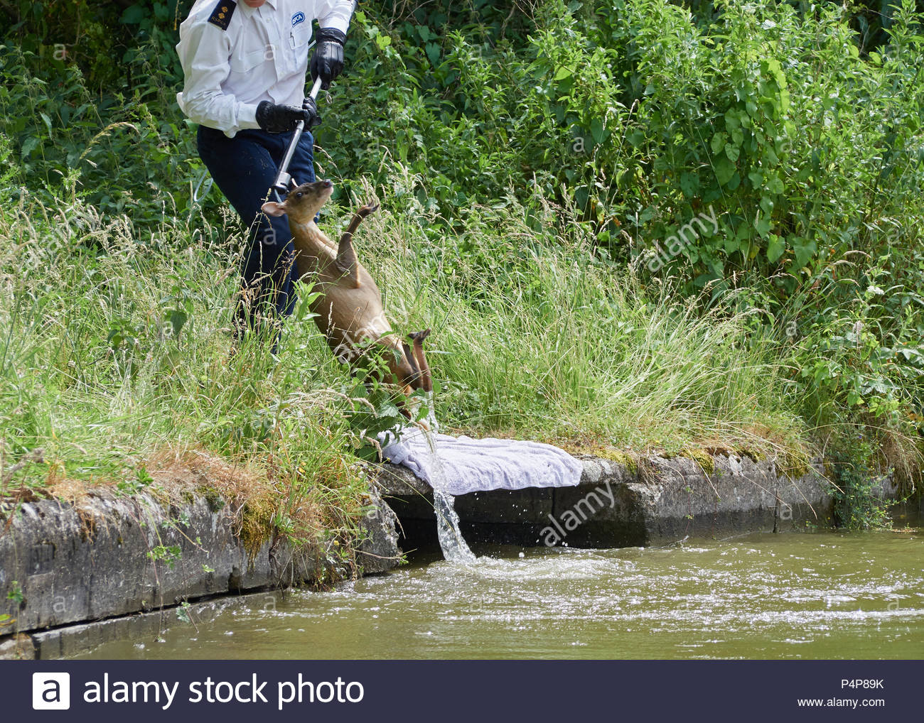 RSPCA officer Jamie lifts the Muntjac deer back on to the safety of dry land. The deer was successfully released back in to the woodland. Credit: Mike Caffrey/Alamy Live News - Stock Image