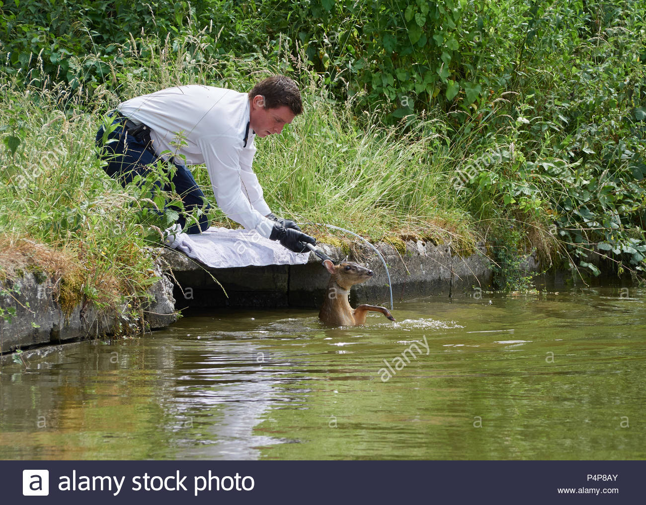 RSPCA officer Jamie attempting to bring the rescued deer calmly to the bankside - Stock Image