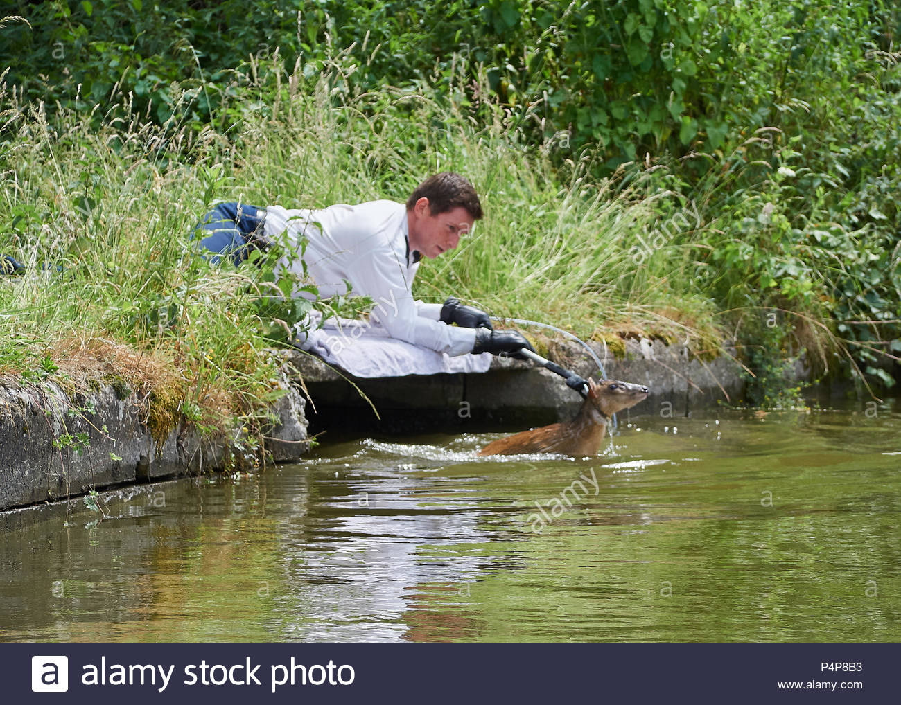 The RSPCA rescuing a Muntjac deer that fell into the canal near the Seabrook locks at Pitstone on the Grand Union Canal, UK - Stock Image