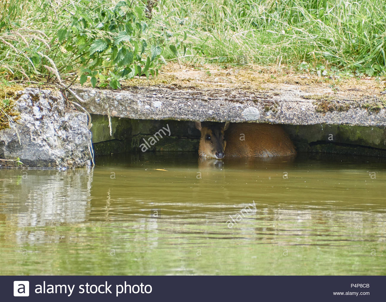 Muntjac deer sheltering in a culvert after havign fallen in to the Grand Union Canal - Stock Image
