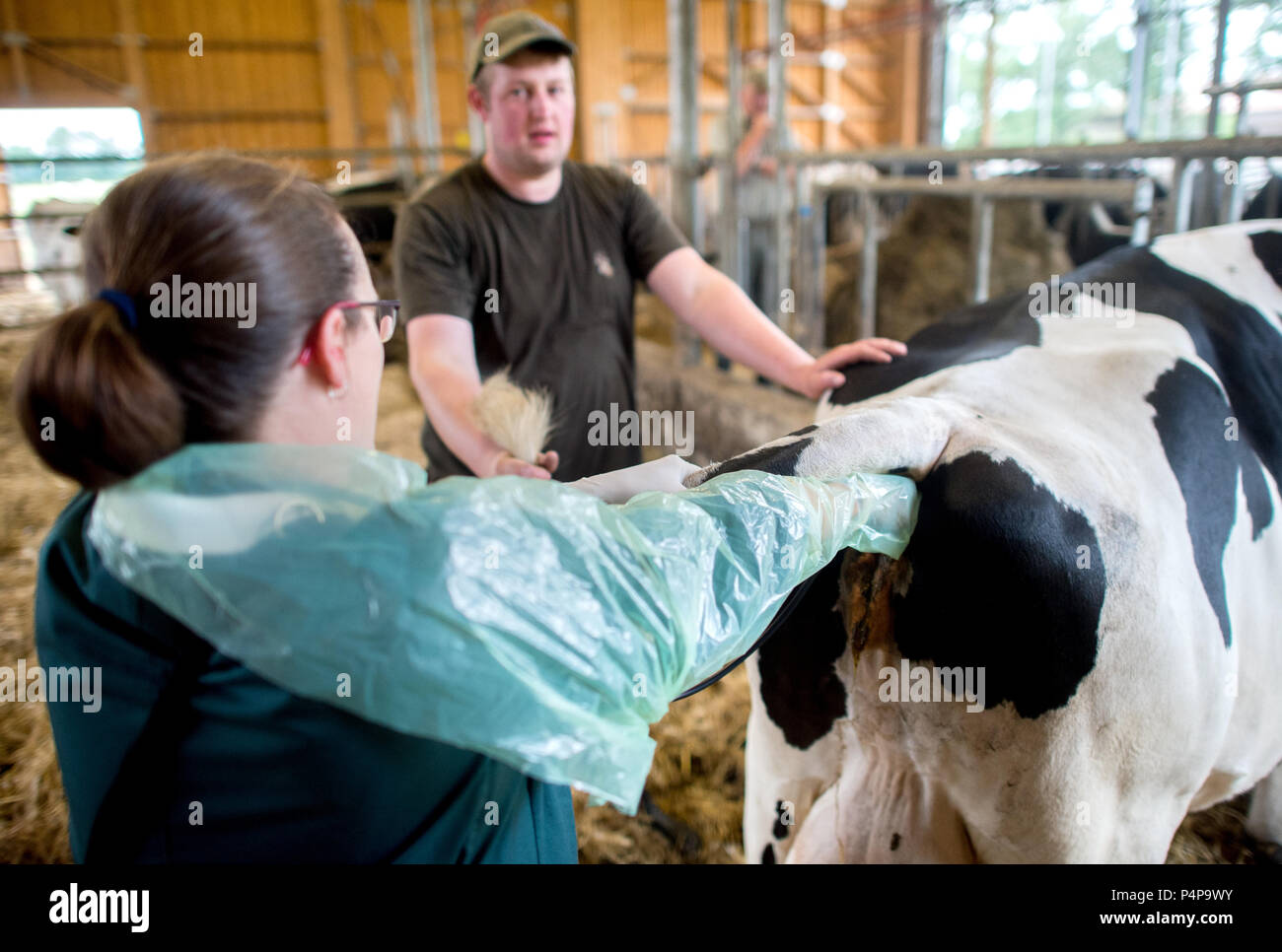 Germany, Ummern. 21st June, 2018. Susanne Lier, veterinarian of the veterinary practice 'Hohne' performs ultrasound on the cow 'Perle' via rectal intrusion. The number of farm veterinarians in Germany is dropping - many of them decide to specialize on pet animals. This trend is worrying for farmers and agriculturalists. Credit: Hauke-Christian Dittrich/dpa/Alamy Live News - Stock Image