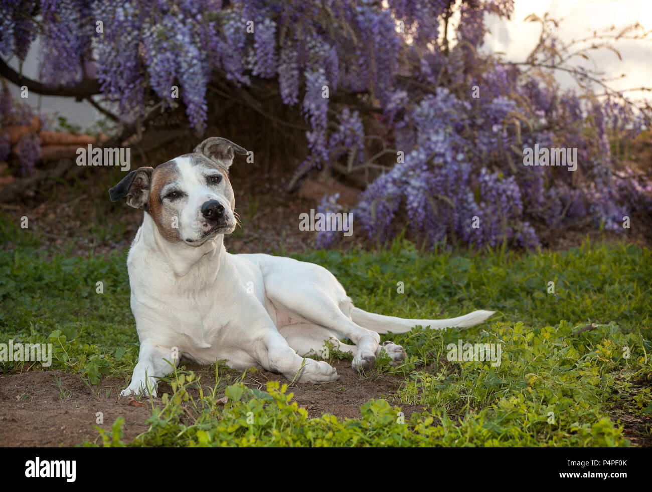 senior white pitbull dog otherwise known as an American Staffordshire Terrier lays on the ground.  She is posing in a very regal way.  There are beaut - Stock Image