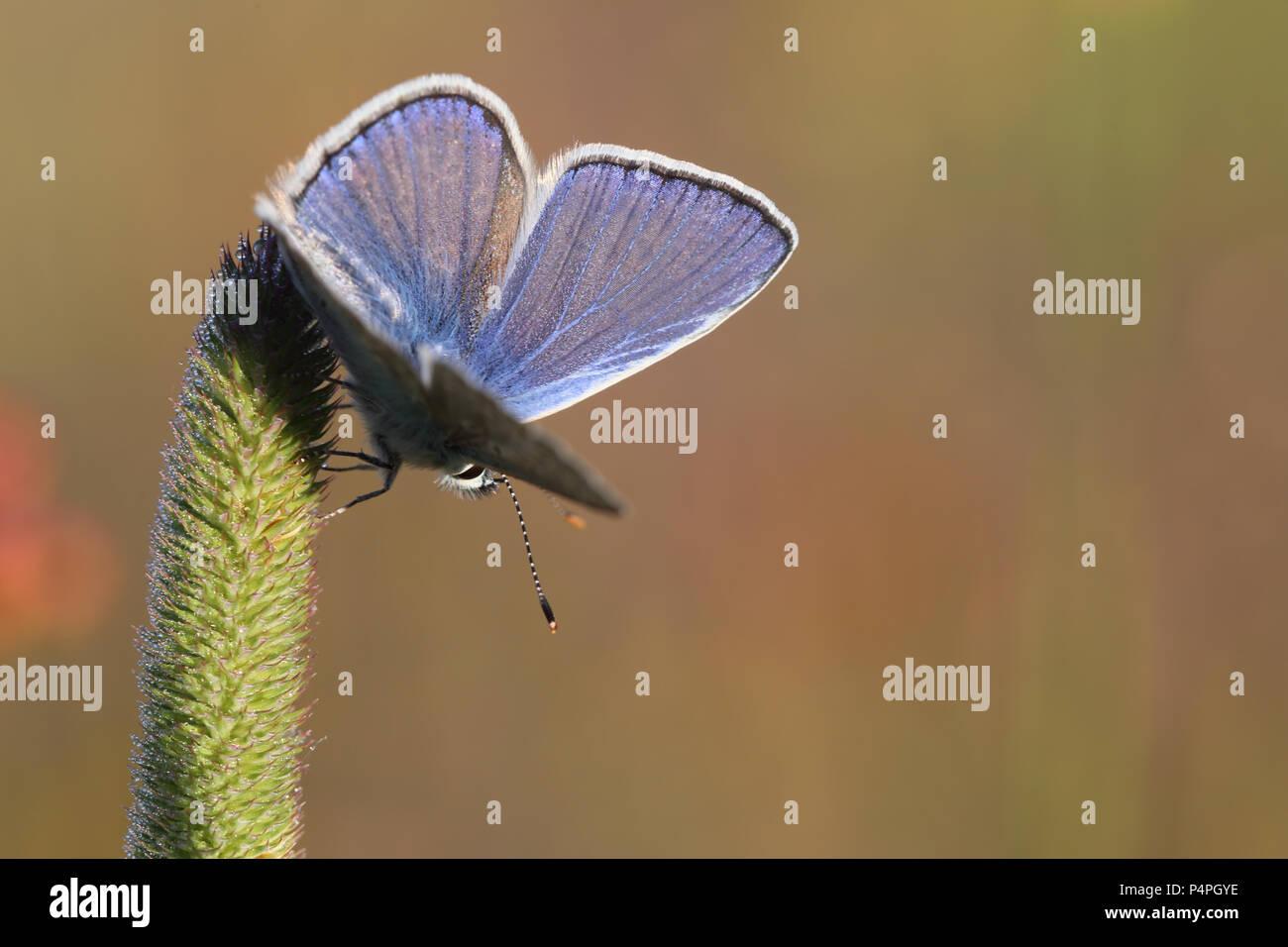 Common Blue (Polyommatus icarus) at Kaisa Mossa, Öland, Sweden Stock Photo
