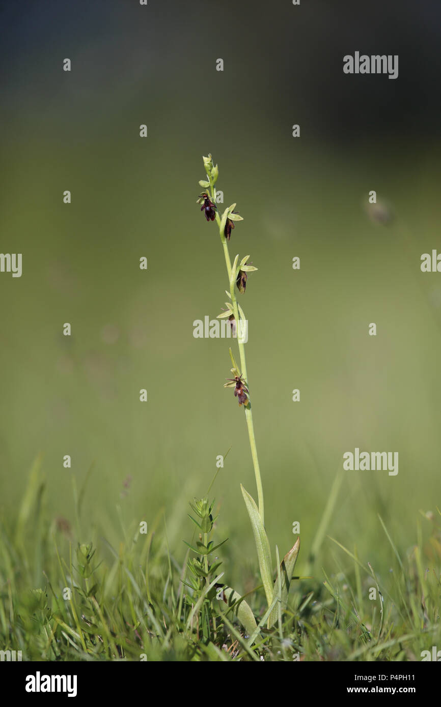 Blooming Fly orchid (Ophrys insectifera) at Knisa Mossa, Öland, Sweden Stock Photo