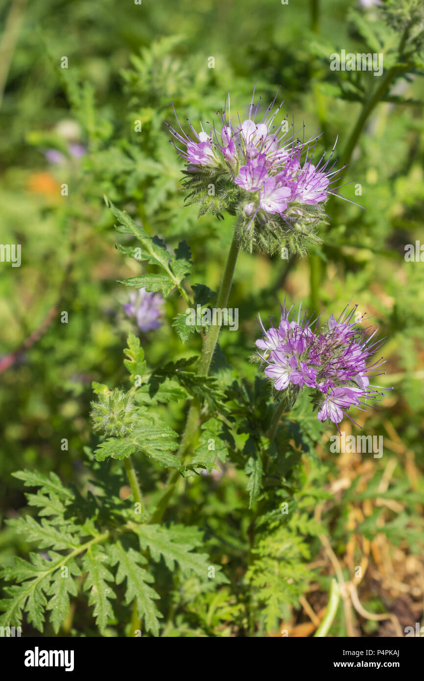 Phacelia is a good melliferous and green enrichment and blooms  in June - Stock Image