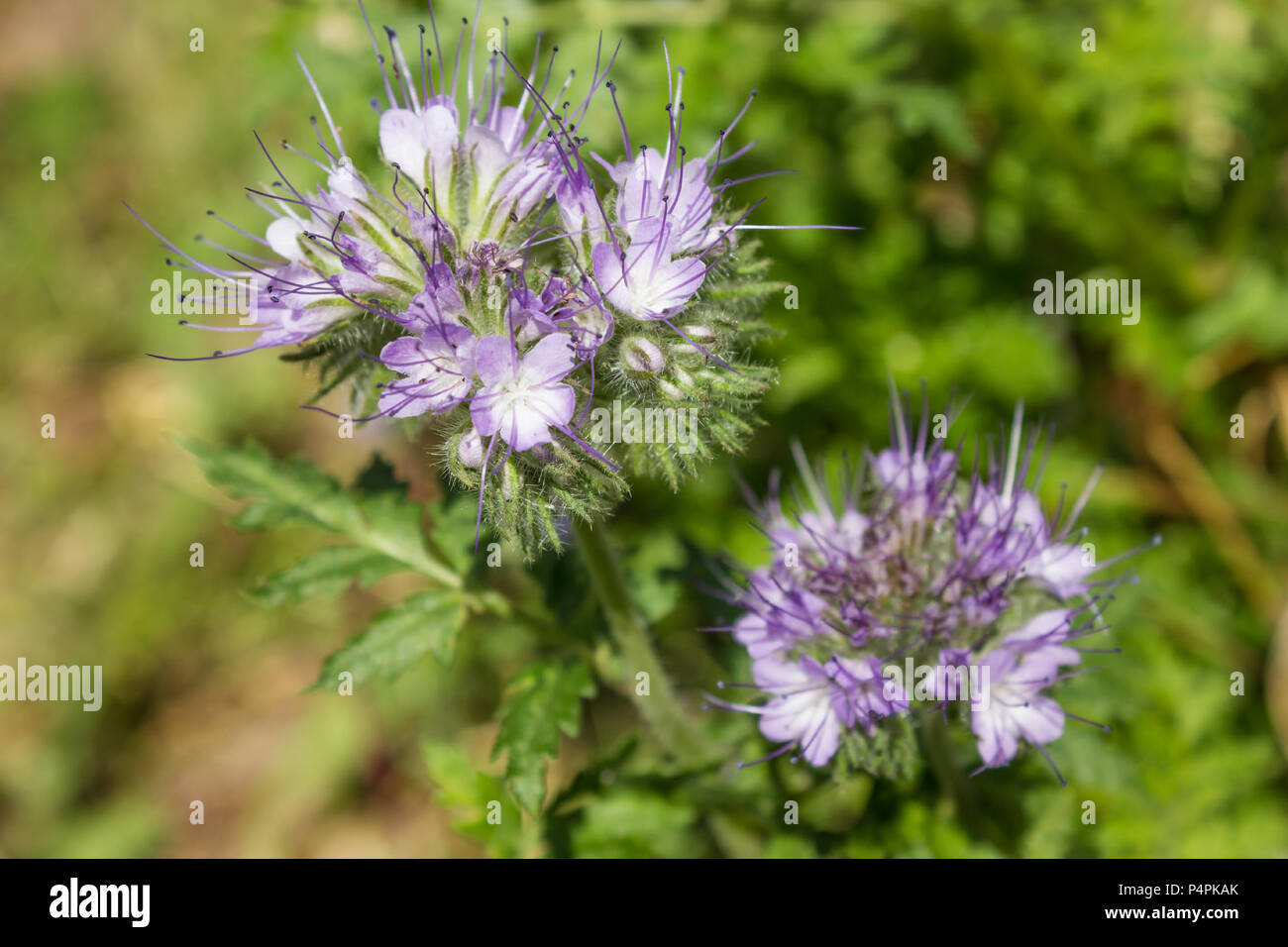 Phacelia, which is good melliferous and green enrichment and blooms in summer - Stock Image