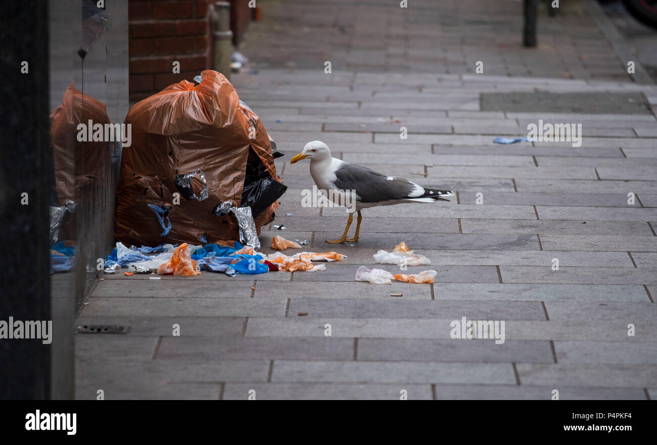 A seagull is seen pecking at a rubbish bag on a street in Cardiff, Wales, UK. - Stock Image