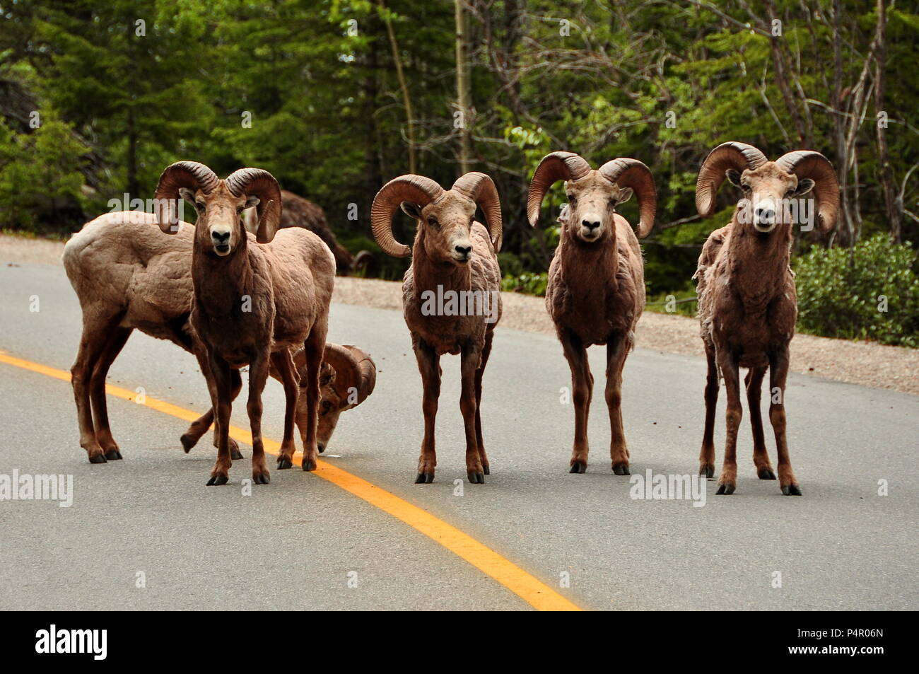 Big Horned Sheep - Stock Image