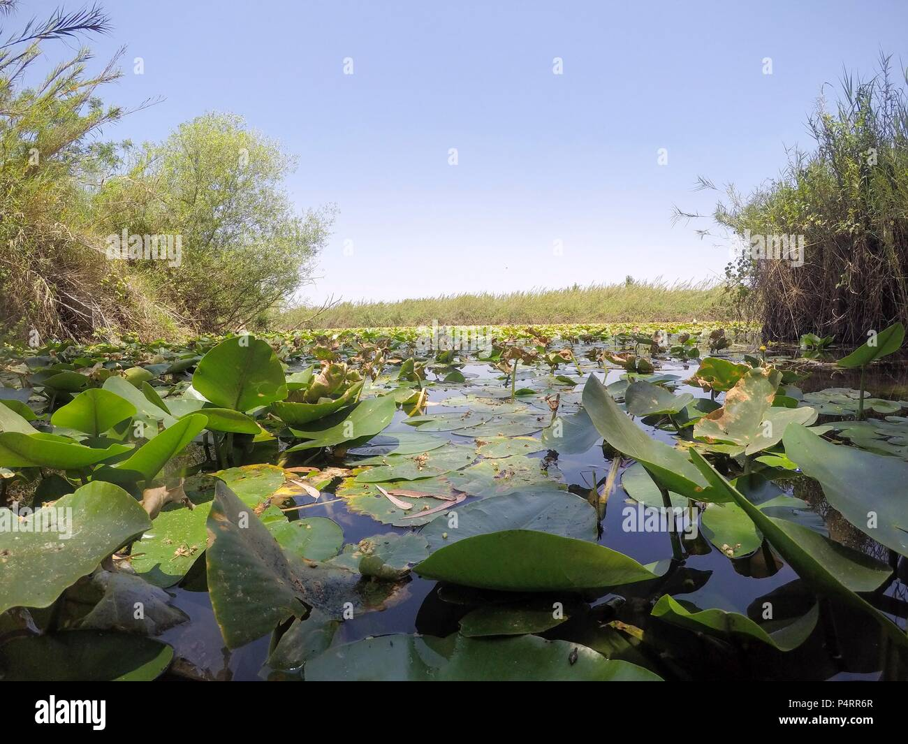 Yellow waterlily (Nuphar lutea). This aquatic plant is also known as the cow lily, and yellow pond-lily. Photographed in a natural pool in Israel in September. - Stock Image