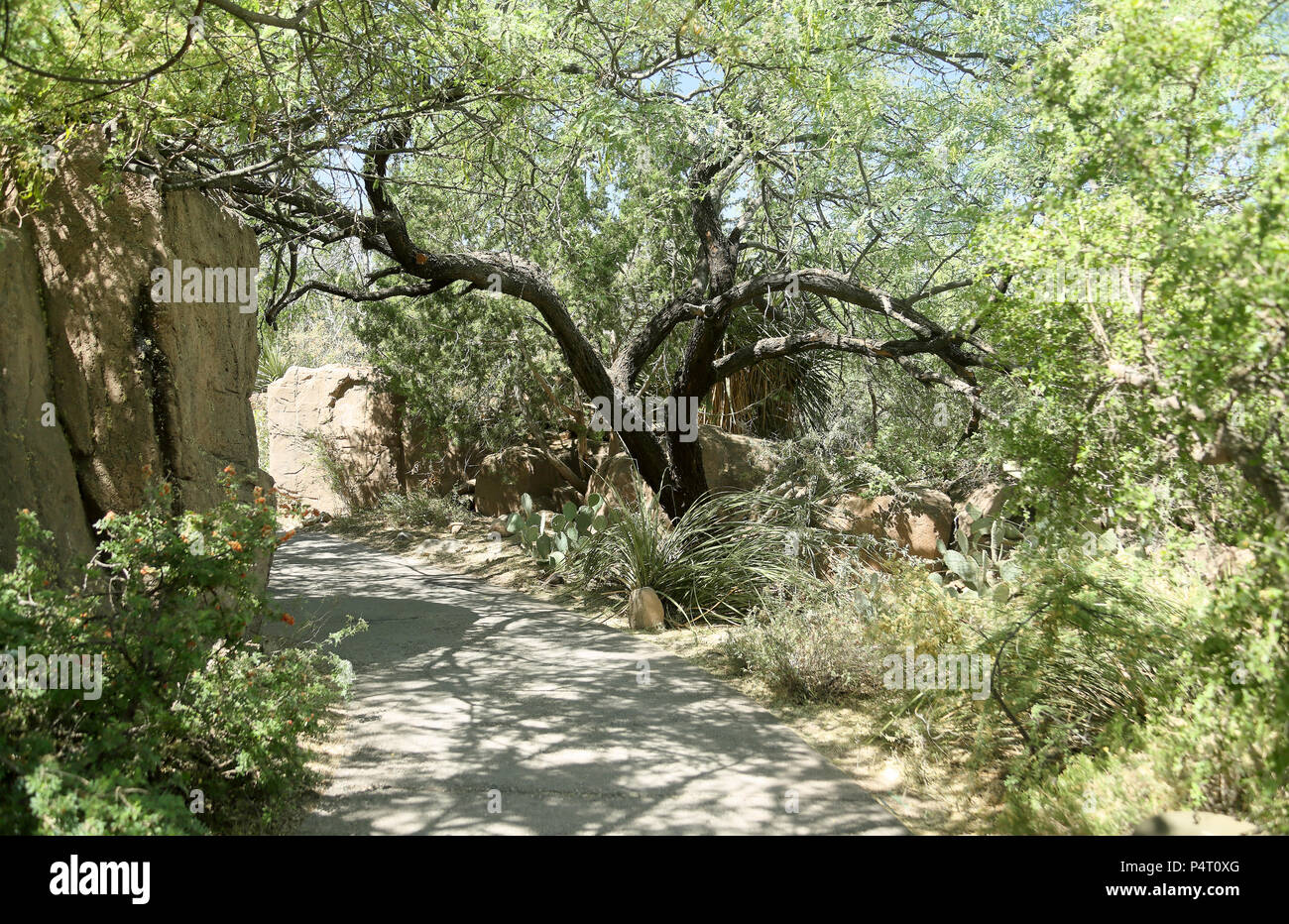 Garden pathway with cacti, trees and bushes in southern Arizona on a sunny day - Stock Image
