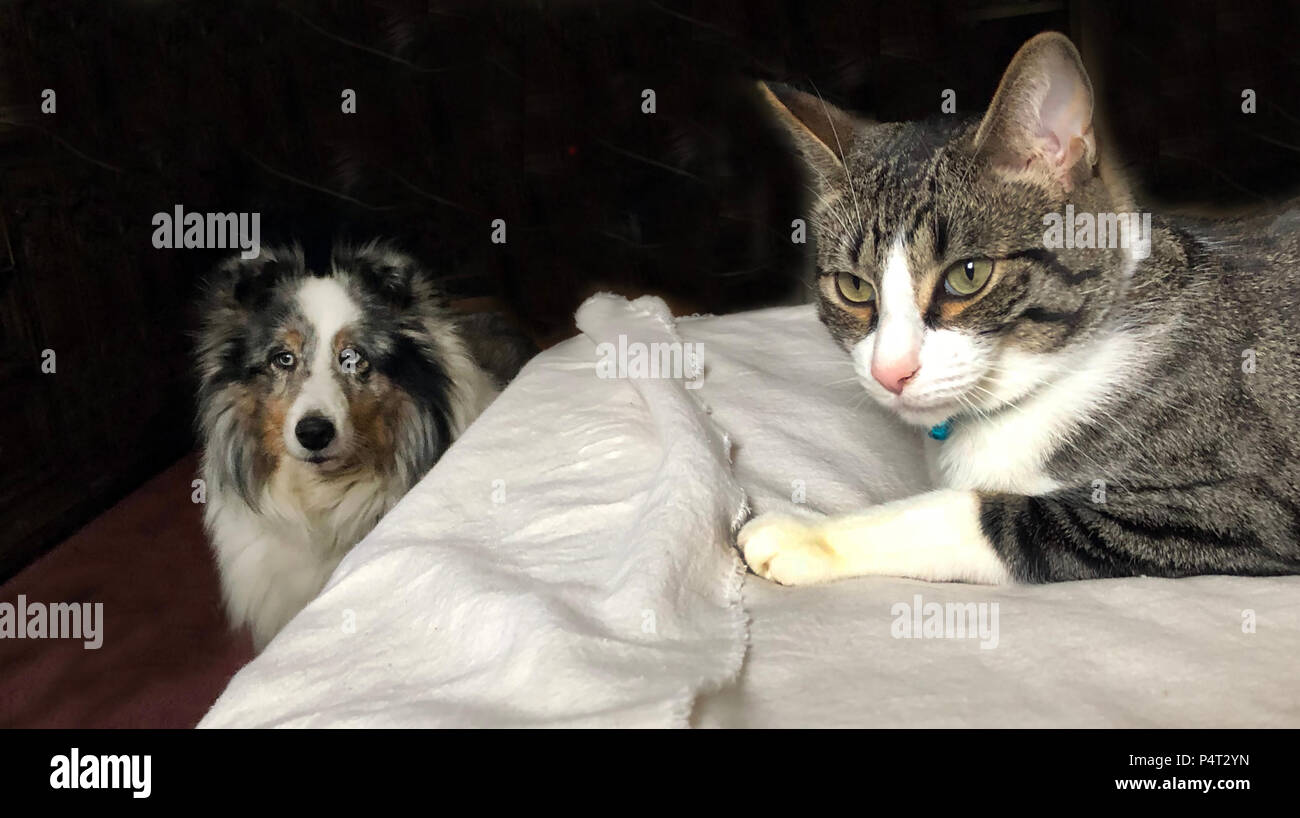 Family pets on bed, cat and dog. - Stock Image