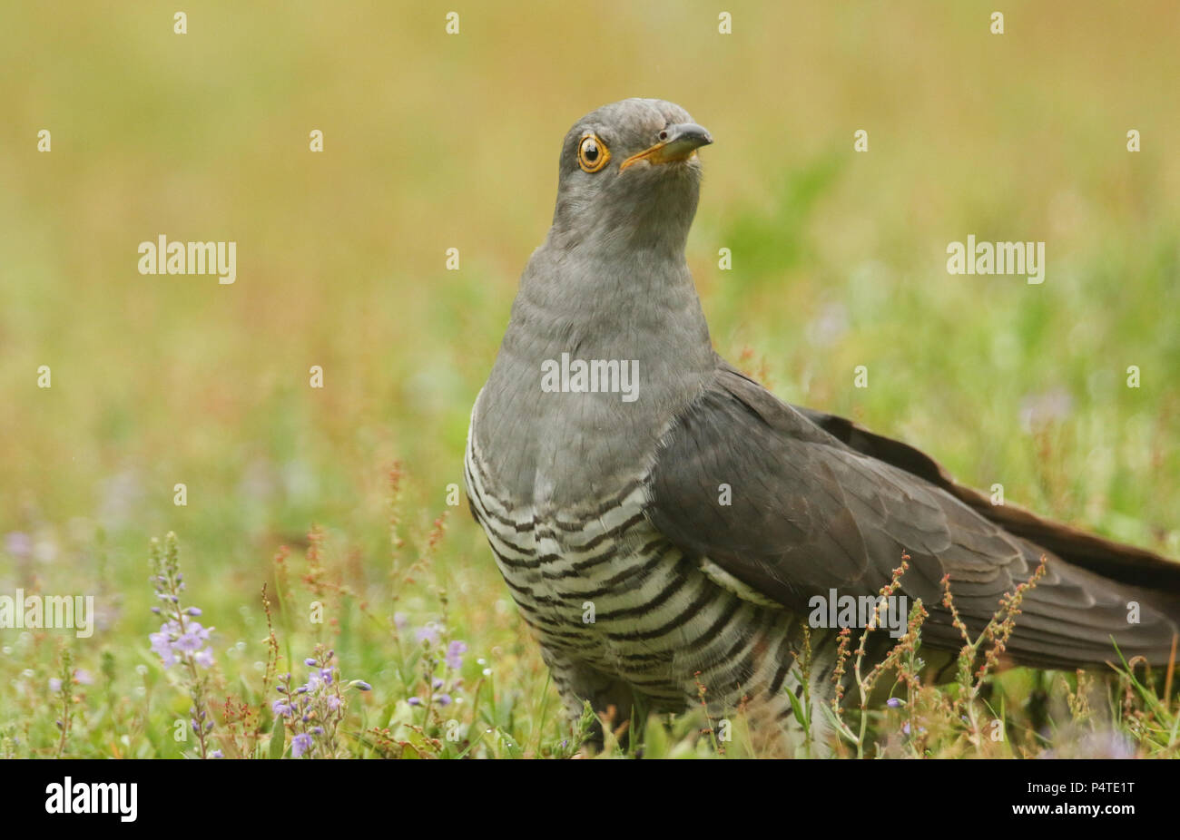A stunning Cuckoo (Cuculus canorus) searching on the ground in a meadow for food. - Stock Image