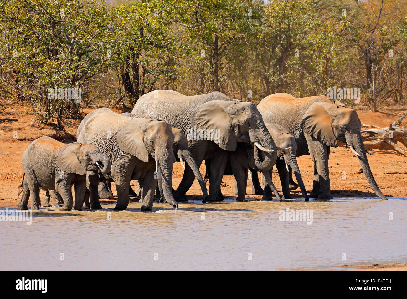 African elephants (Loxodonta africana) at a waterhole, Kruger National Park, South Africa - Stock Image
