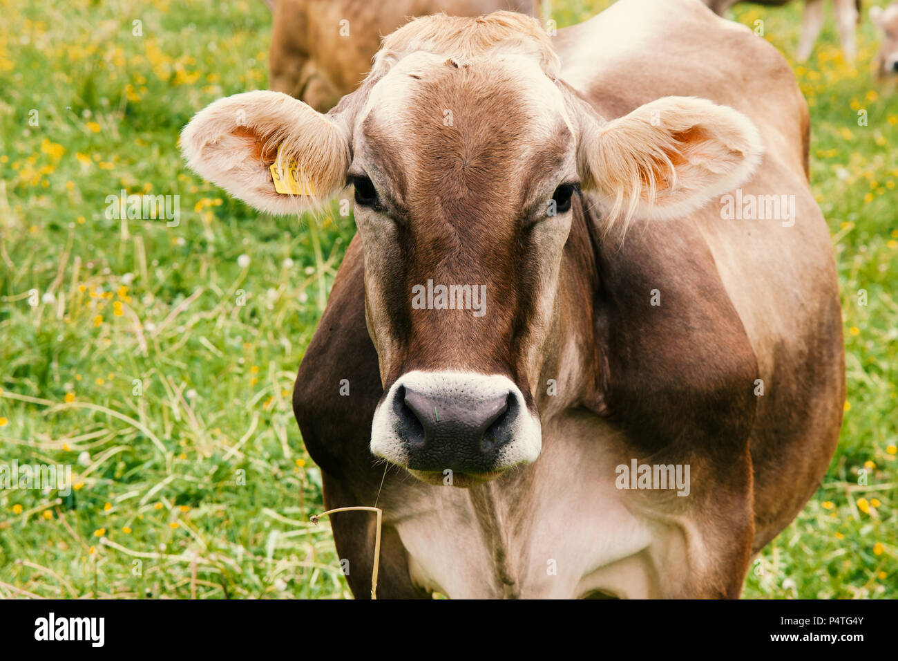 Cow, Kuh - Stock Image