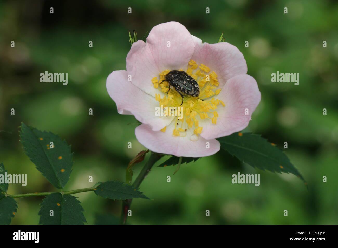 Rosa canina (Dog Rose / Hunds-Rose, Hundsrose, Heckenrose) & Tropinota hirta (Rose Beetle / Zottiger Rosenkäfer) - Stock Image