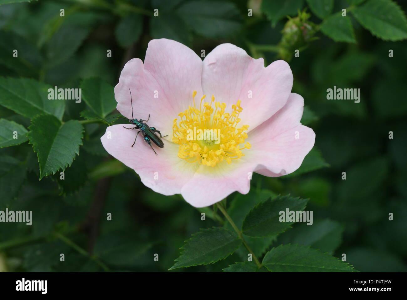 Rosa canina (Dog Rose / Hunds-Rose, Hundsrose, Heckenrose) & Oedemera nobilis (False Oil Beetle / Grüner Scheinbockkäfer) - Stock Image