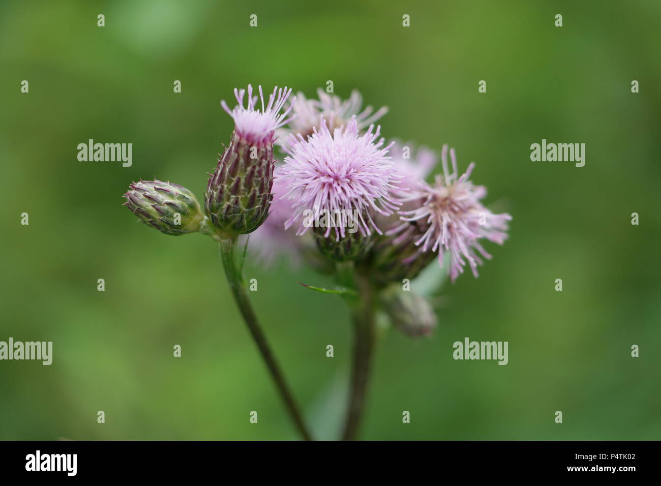 Cirsium arvense / Creeping Thistle / Acker-Kratzdistel, Ackerdistel Stock Photo