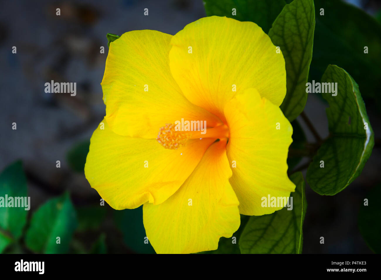 Yellow Flowers In India Stock Photo 209525179 Alamy