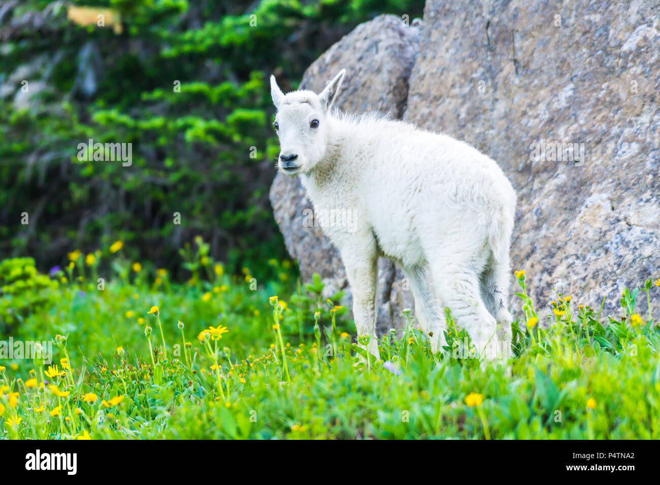 kid mountain goats   in green grass field, Glacier National Park, Montana - Stock Image