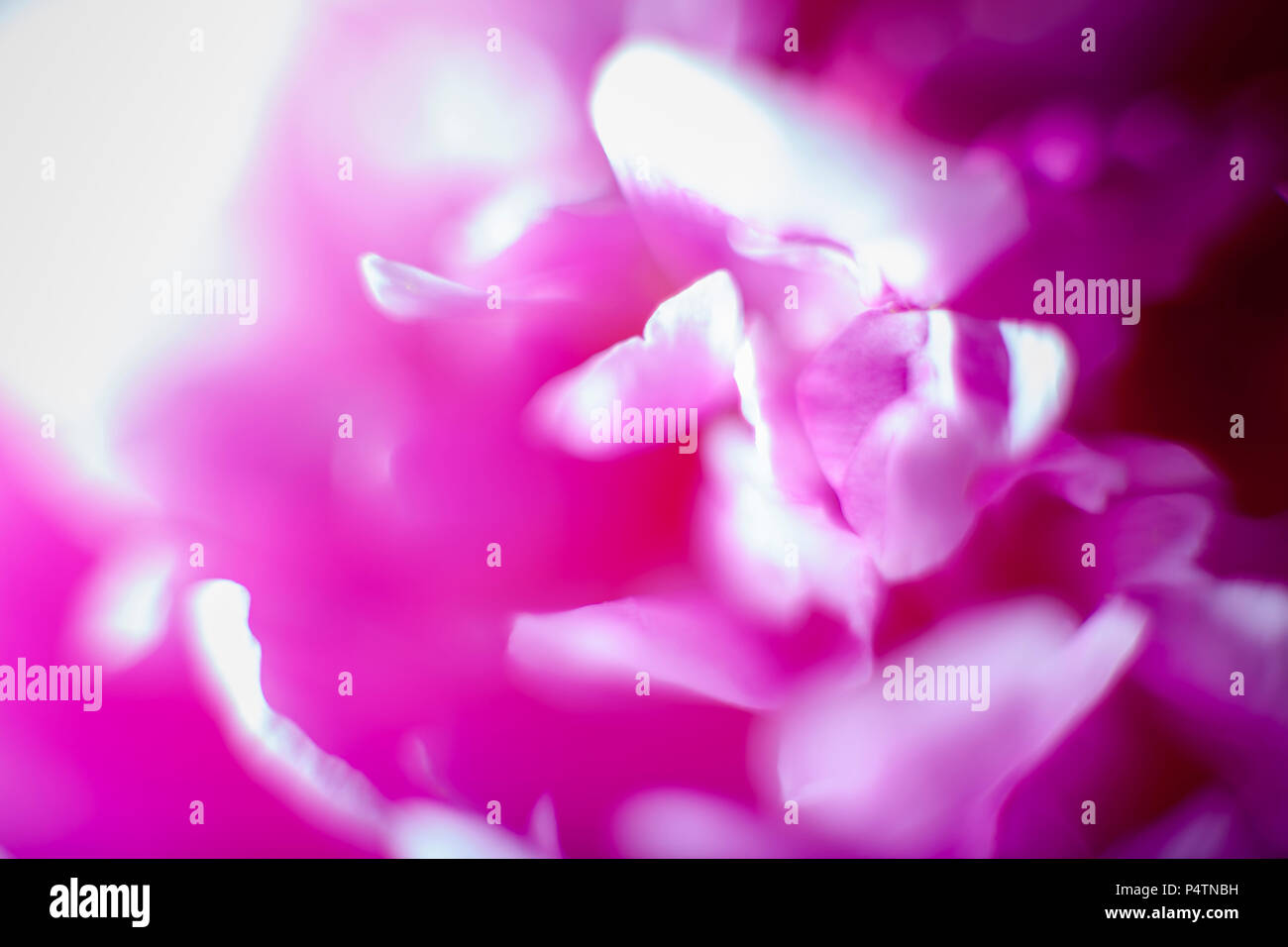 Pink peony blooming, image filling - Stock Image