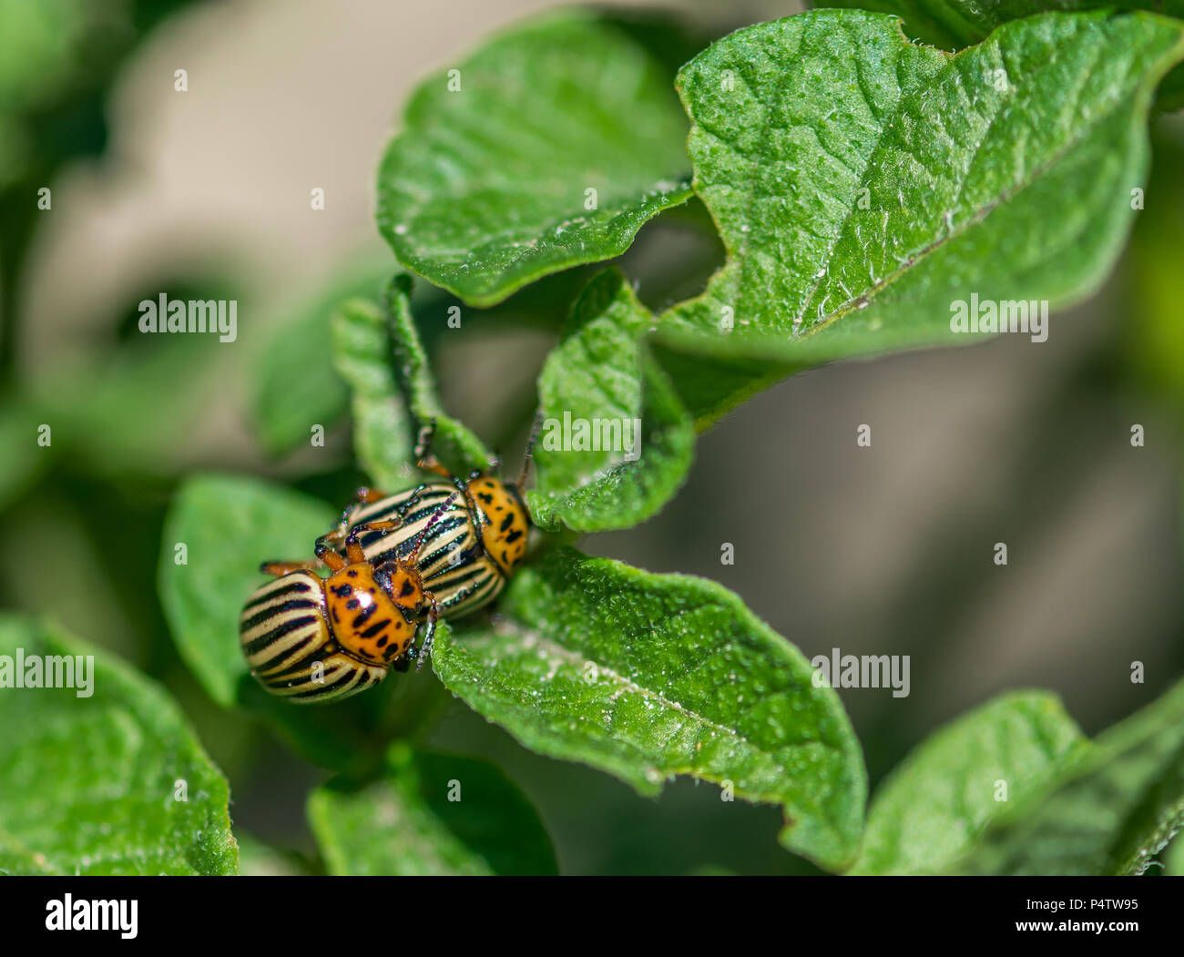 Doryphoroos Reproucing on Leafs, City of Ste-Anne-des-Plainnes, Quebec, Canada Stock Photo