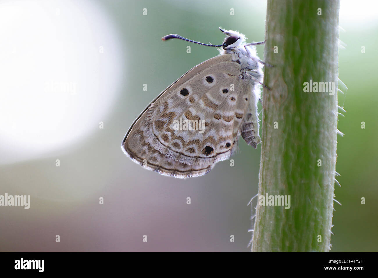 Dreamy Lime Blue butterfly in early morning - Stock Image