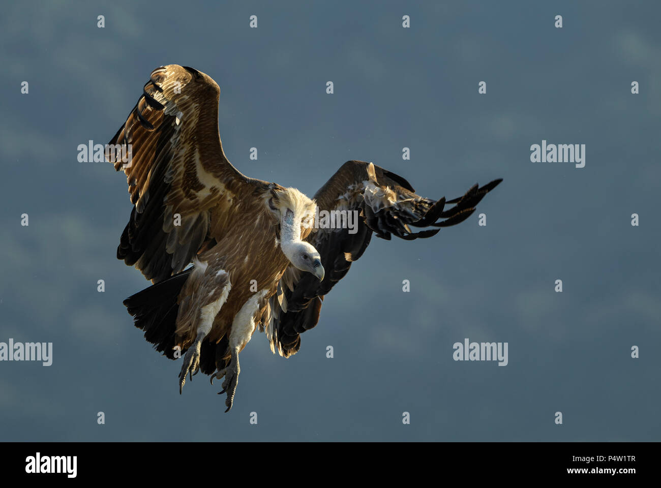 Griffon Vulture - Gyps fulvus, large brown white headed vulture from Old World and Africa. Stock Photo