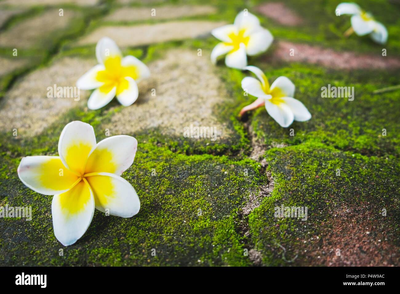 White Frangipani Plumeria Flowers With Green Moss On The Brick