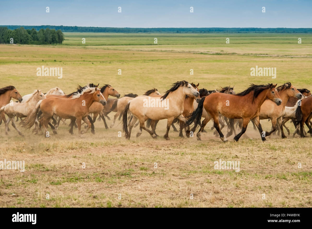 Running herd of horses to the right side of the field - Stock Image