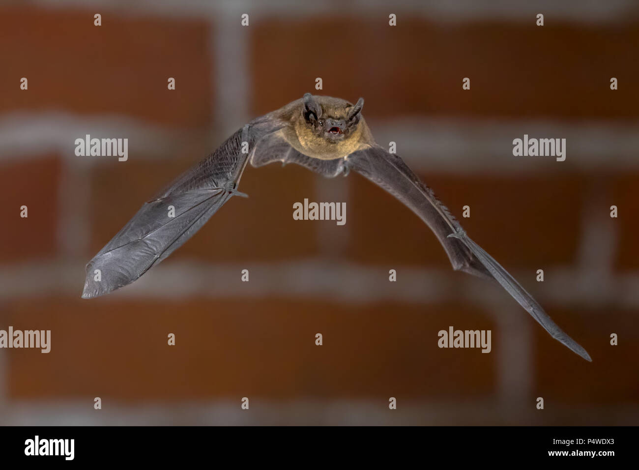 Nocturnal Pipistrelle bat (Pipistrellus pipistrellus) close up. Flying in urban setting with bricks in background in darkness at night - Stock Image
