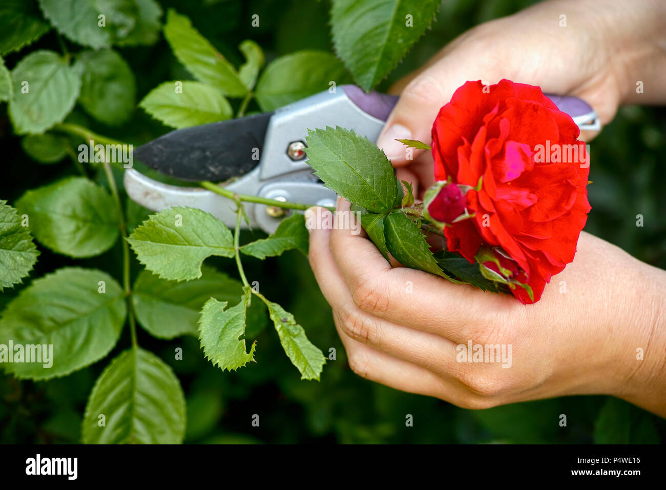 Woman hands with gardening shears cutting red rose of bush. - Stock Image