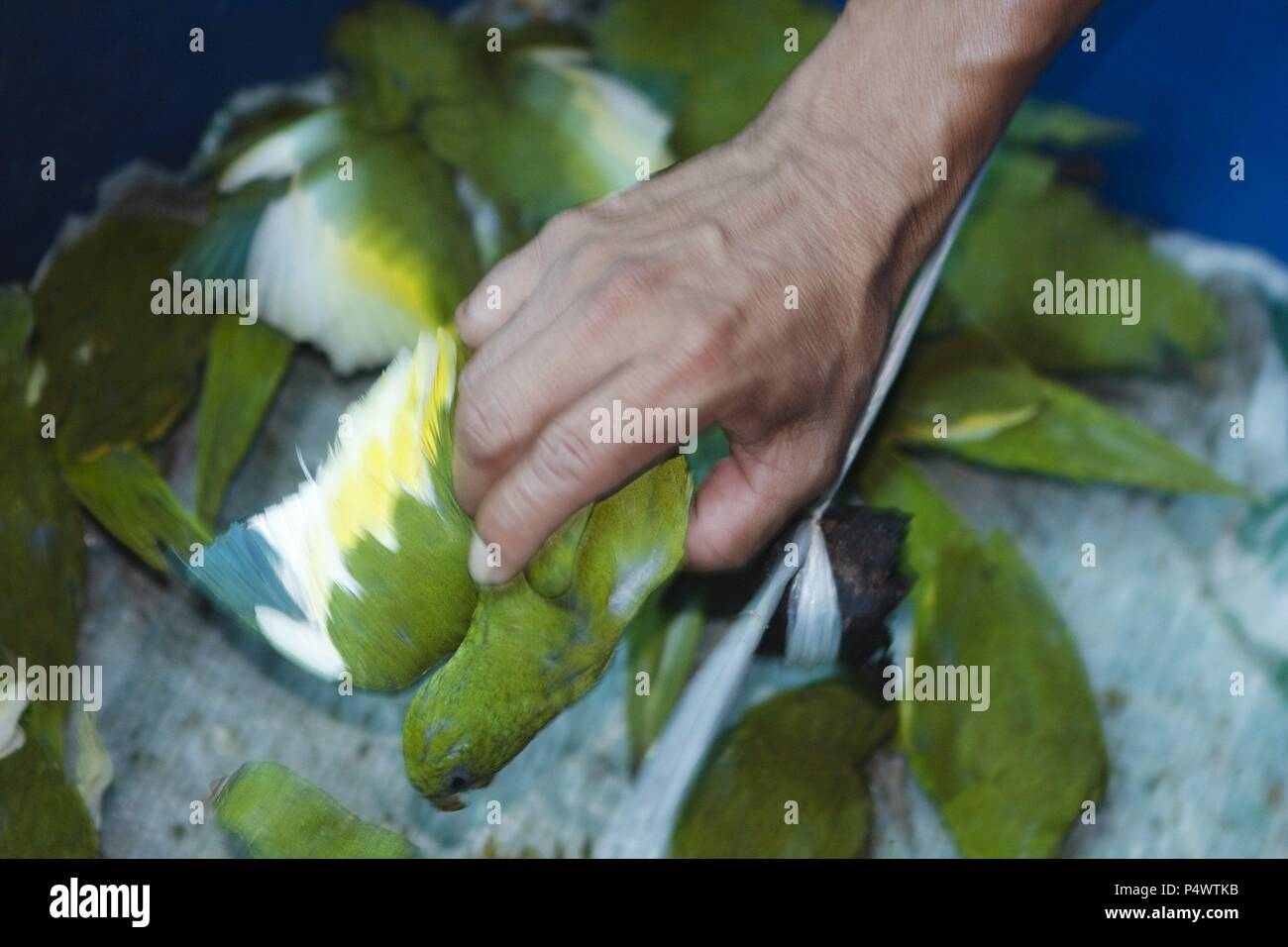 Illegal sale of parrots  Market of Belen  Iquitos  Loreto
