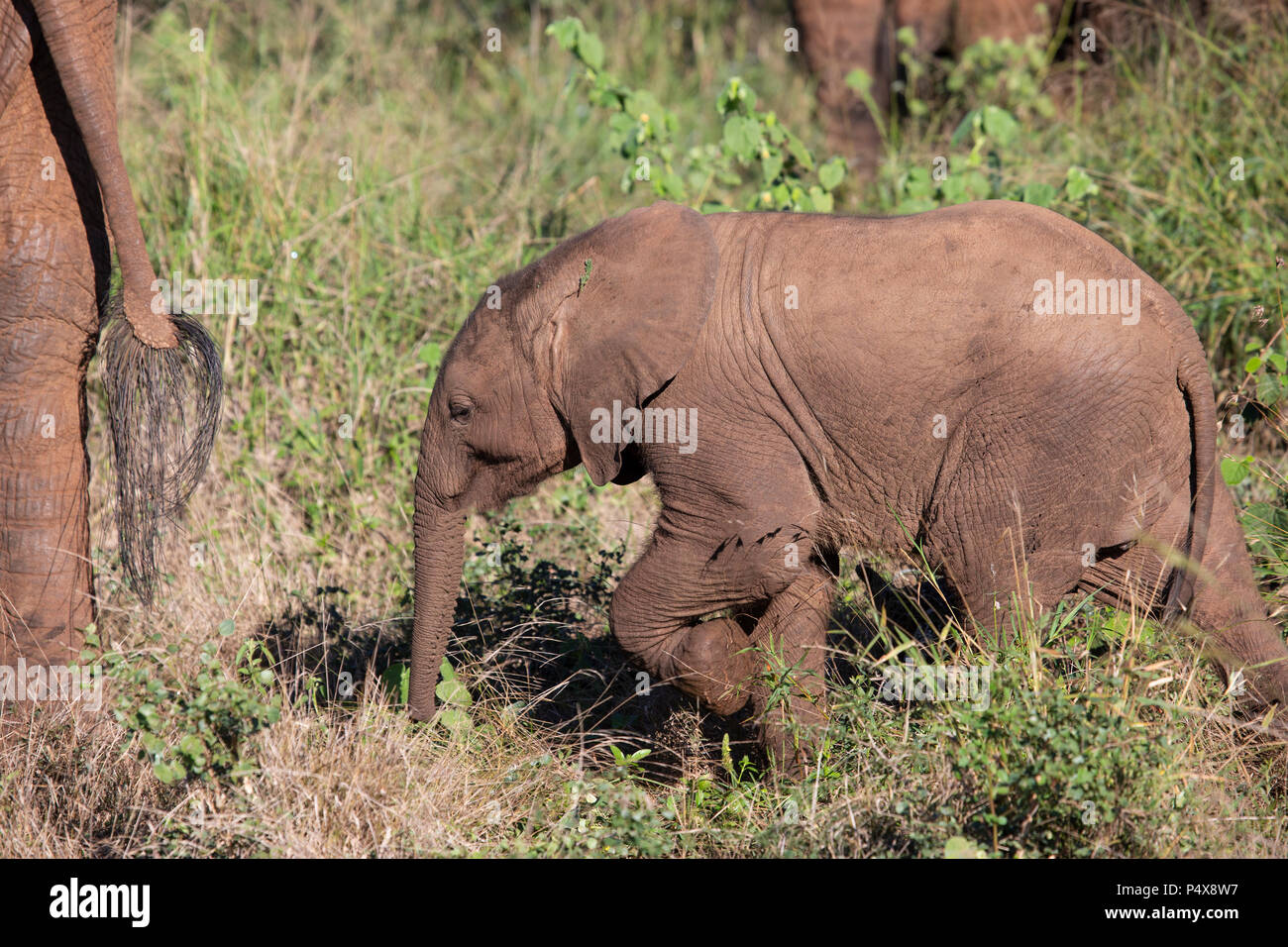 Baby African elephant Loxodonta africana following close behind its mother in the African bush Stock Photo