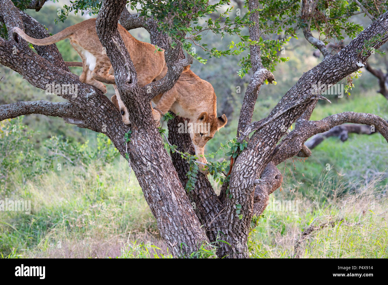 Young lion Panthera leo descending from a tree in the South African bush - Stock Image
