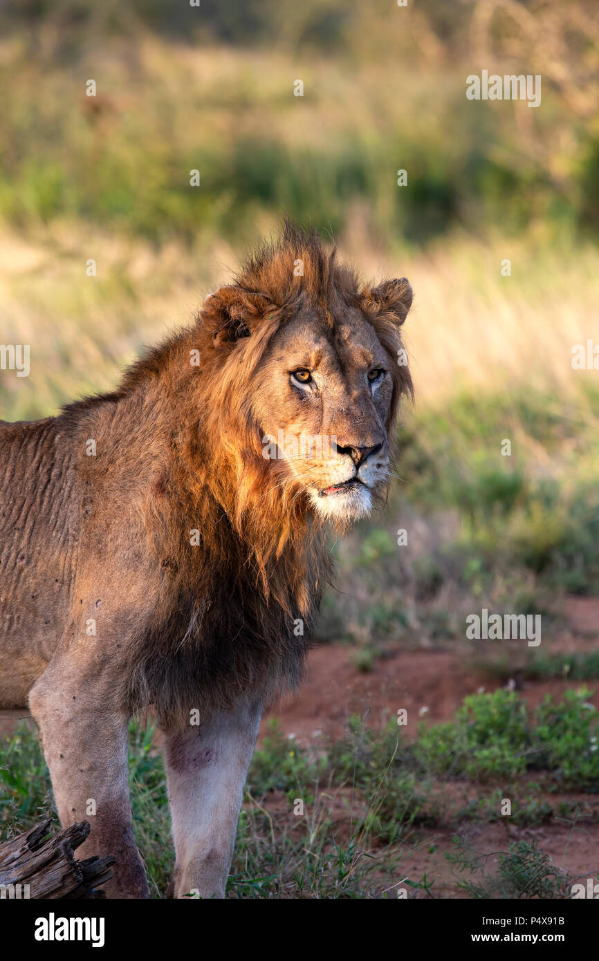 Regal male lion Panthera Leo standing and lit in low golden light at dusk - Stock Image