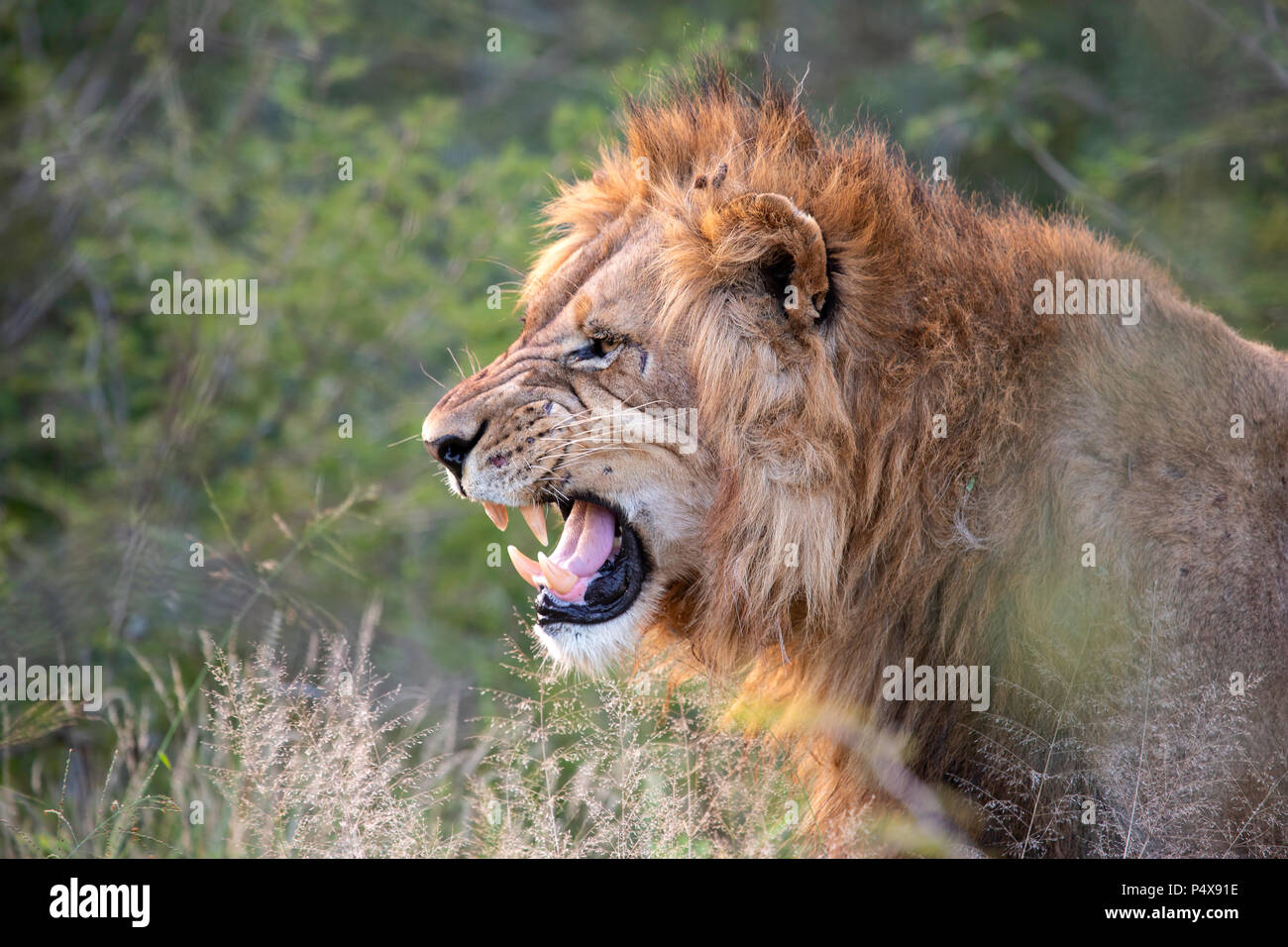 Close up headshot in profile of male lion Panthera leo snarling and baring teeth - Stock Image