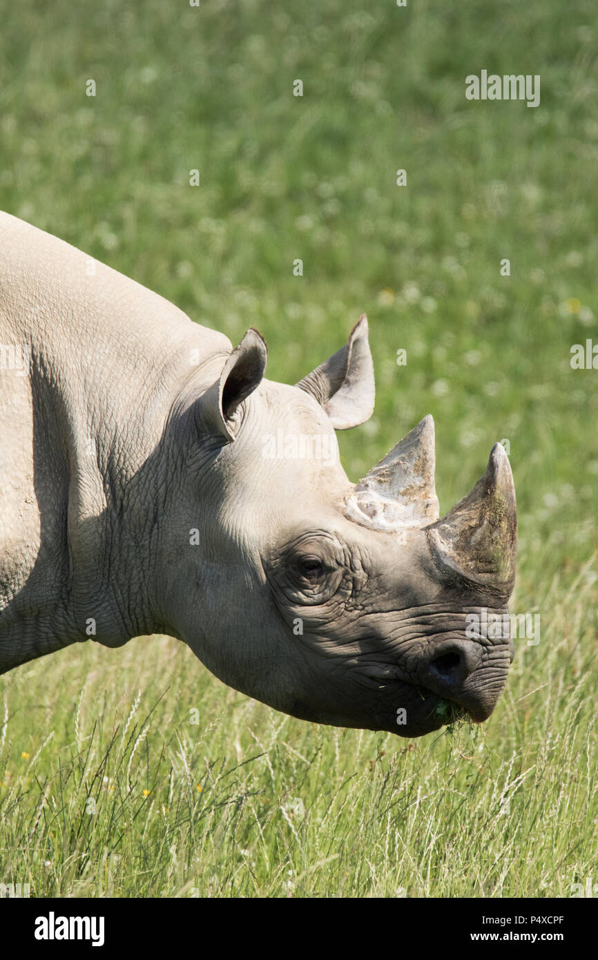 A Black Rhino at Folly Farm, Pembrokeshire, West Wales, UK. - Stock Image
