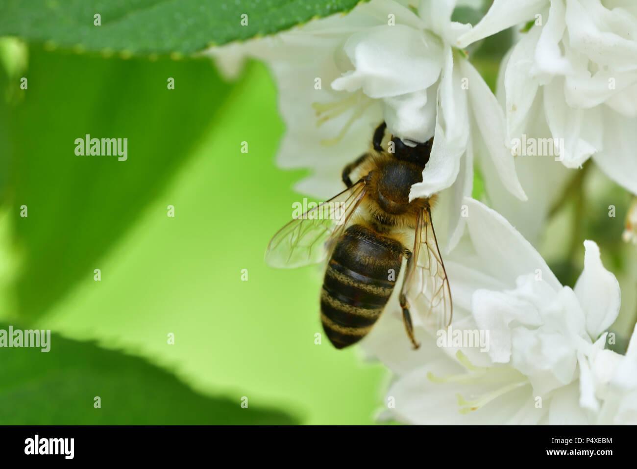 Honey Bee polinating on the white flower macro - Stock Image