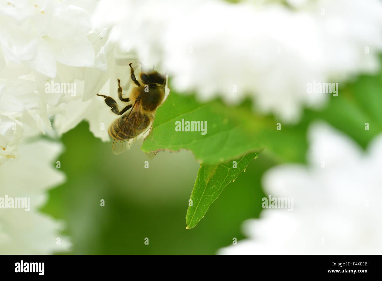Honey Bee polinating on the white flower macro - Stock Image