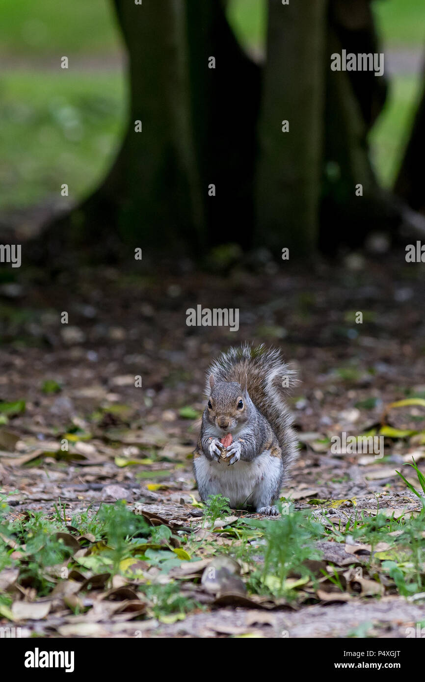 grey squirrel sitting on hind legs eating a peanut held in its front paws - Stock Image