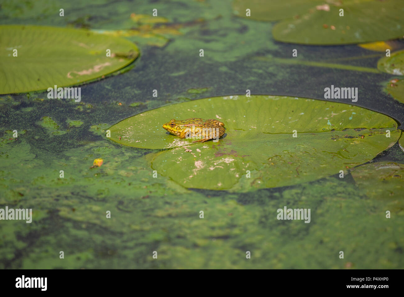 Europe common Pelophylax ridibundus, marsh frog sitting on green leaf - Stock Image